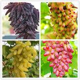 Egrow 50 قطعة / الحزمة إصبع بذور العنب لذيذ بوعاء بذور الفاكهة بذور العنب للمنزل والحديقة
