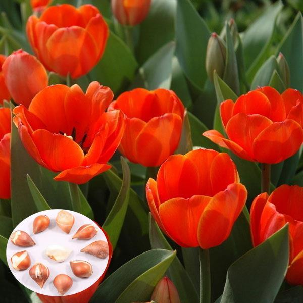 5pcs Apricot Imperssion Tulip Bulbs Tulipa Gesneriana Flower Seeds